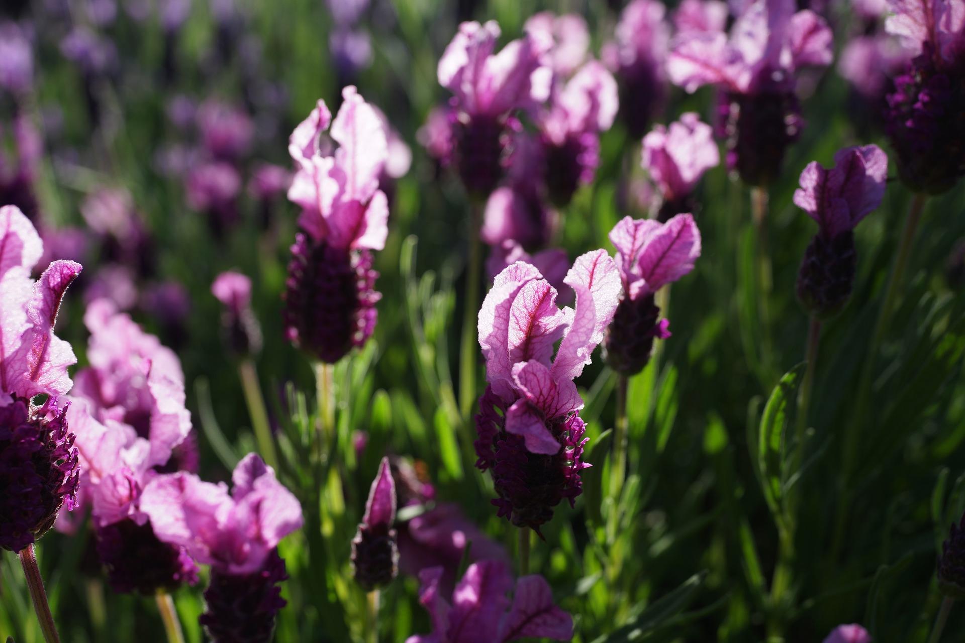 Lavender garden 2852122 1920